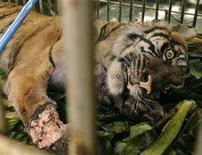 <p>Una tigre indonesiana di 5 anni giace ferita in una gabbia. Foto d'archivio. REUTERS/Tarmizy Harva</p>