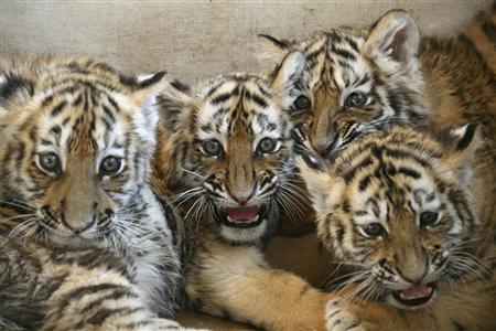 Siberian tiger cubs are seen at the Dalian Forest Zoo in Dalian, Liaoning province February 7, 2010. REUTERS/Jacky Chen