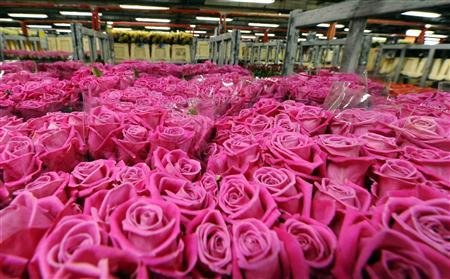 Roses are seen at FloraHolland, the world's biggest flower auction, in Aalsmeer February 11, 2010. The auction expects bumper sales in the run up to Valentine's Day. REUTERS/Toussaint Kluiters/United Photos