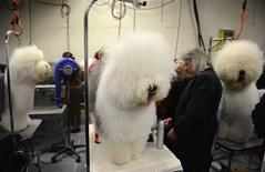 <p>Old English Sheepdogs are groomed during the first day of the 2010 Westminster Dog Show in New York February 15, 2010. REUTERS/Jeff Zelevansky</p>