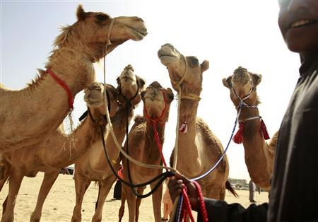 Camels are seen as spectators place their bids on them during the ''Camel Beauty Contest and Camel Race Festival'' in Ajman February 24, 2010. REUTERS/Jumana ElHeloueh