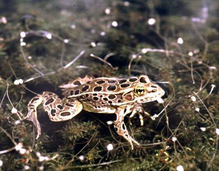 A leopard frog, Rana pipiens, from the Midwest where native frogs are suffering the effects of atrazine, is seen in a handout photo. Atrazine, one of the most commonly used and controversial weedkillers, can turn male frogs into females, researchers reported on Monday. REUTERS/UC Berkeley/Tyrone Hayes