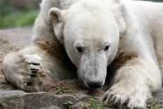 <p>Imagen de archivo del famoso oso polar Knut, en el zoológico de Berlín. Oct 6 2009. Un grupo de defensa de los derechos de los animales en Alemania quedó en el ojo de la tormenta el miércoles por decir que Knut, el famoso oso polar de Berlín, debería ser castrado porque es pariente de una osa con la que podría reproducirse, Giovanna. REUTERS/Fabrizio Bensch /archivo</p>