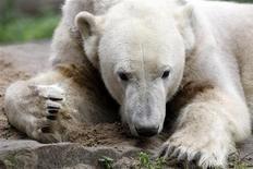 <p>Медведь Кнут отдыхает в своем вольере в берлинском зоопарке 6 октября 2009 года. Защитники животных призвали кастрировать знаменитого белого медведя Кнута, живущего в Берлинском зоопарке, так как он является родственником своей невесты Джованны. REUTERS/Fabrizio Bensch</p>