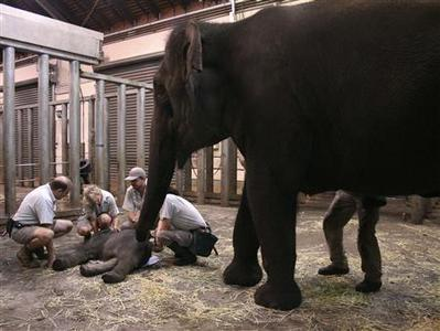 Taronga Zoo veterinarians give treatment to a newborn elephant calf as its mother Porntip (R) stands next to it in Sydney March 10, 2010. An elephant gave birth to a calf at Sydney's main zoo on Wednesday, surprising vets and keepers who two days earlier declared the baby had died in the womb. REUTERS/Taronga Zoo/Bobby-Jo Vial/Handout