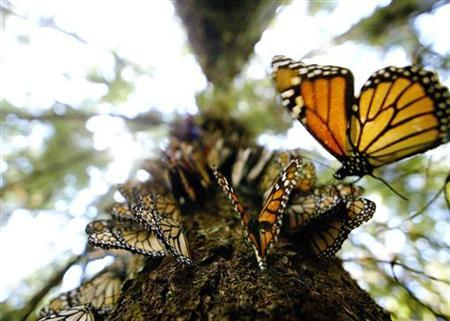 Hundreds of Monarch butterflies line a tree trunk on the Cerro del Campanario, in the El Rosario butterfly sanctuary on a mountain over 3000 metres above sea level (9000 feet) in the Mexican state of Michoacan, March 11, 2003. REUTERS/Andrew Winning