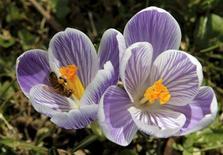 <p>Una abeja se alimenta del polen de una flor en un día caluroso en un jardín botánico en Génova. Marzo 18 2010. Luego de recibir una serie de quejas, funcionarios taiwaneses descubrieron que una misteriosa viscosidad amarilla que cubrió por semanas autos y ropa colgada era producto de los excrementos de abejas estacionales. REUTERS/Denis Balibouse</p>