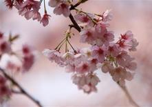"<p>Blooming ""Ookanzakura"" cherry blossoms are pictured at Shinjuku park in Tokyo March 18, 2010. REUTERS/Yuriko Nakao</p>"