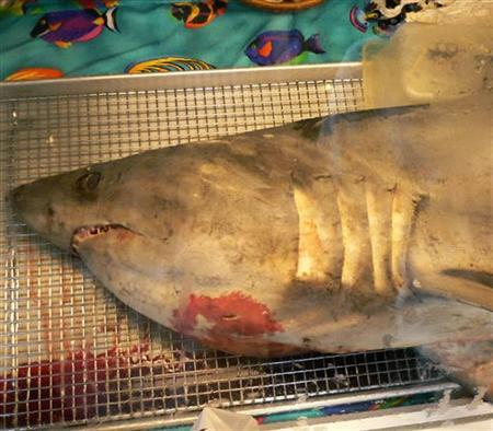 A porbeagle shark, a species that was once fished to the brink of extinction in the frigid waters off the Atlantic during the 1960s, is pictured in this photograph taken in Canada July 31, 2007. REUTERS/George Shaw