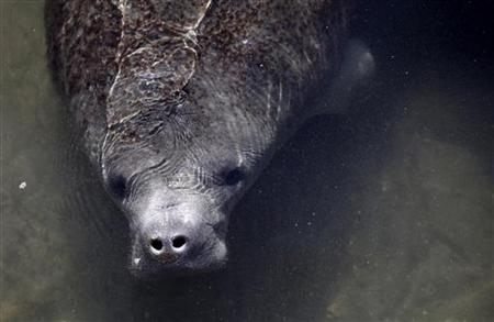 A manatee is seen near the outlet where Florida Power & Light Company (FPL) pipes warm the water, at an inactive power plant undergoing renovation works in Riviera Beach, Florida January 7, 2010. REUTERS/Carlos Barria