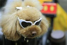 "<p>A Toy Poodle dog wears a pair of sunglasses at a dog show in Chiba, near Tokyo, January 24, 2010. It's a dog's life for a stray mutt in any country, but in Japan a canine that ends up in the municipal pound is far more likely to be put down than to find a new home. While in some other industrialised countries the idea of ""saving"" a pet from a shelter is well-established, in Japan animal welfare activists say strays often fall foul of an attitude that prizes puppies and pedigrees as status symbols. Picture taken January 24, 2010. REUTERS/Kim Kyung-Hoon</p>"