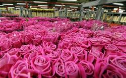 <p>Roses are seen at FloraHolland, the world's biggest flower auction, in Aalsmeer February 11, 2010. REUTERS/Toussaint Kluiters/United Photos</p>