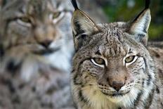 <p>File image shows two Iberian lynxs looking out from their enclosure at a nature reserve in Cabarceno near Santander in northern Spain February 28, 2006. REUTERS/Victor Fraile</p>