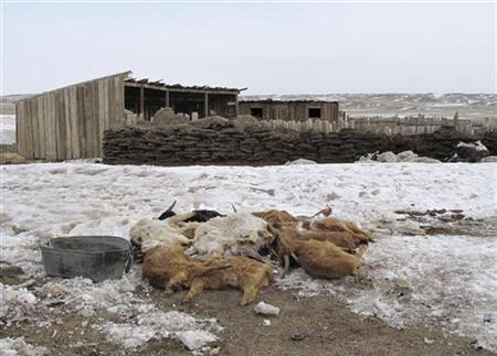 Carcasses of goats, which died due to cold weather, are piled up together at Bayangol County in Uvurkhangai province March 18, 2010. REUTERS/Mongolian Red Cross Society/Enkhtor Dorjzovd/Handout
