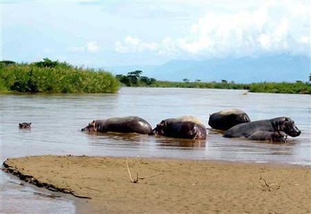 A family of hippos feed at the shores of Lake Tanganyika in Bujumbura, Burundi. REUTERS/Jean Pierre Harrerimana