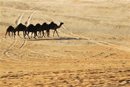 A herd of camels walk in Al Gharbia (the Western Region) of Abu Dhabi, February 8, 2010. REUTERS/Jumana El-Heloueh