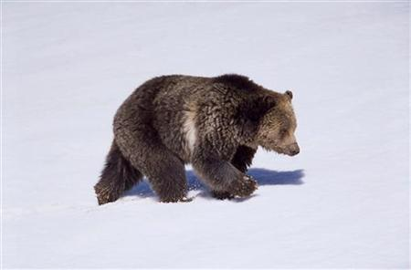 A grizzly bear walks on snow near Obsidian Creek in the Yellowstone National Park in this photo taken in April 2003. REUTERS/Jim Peaco/National Park Service