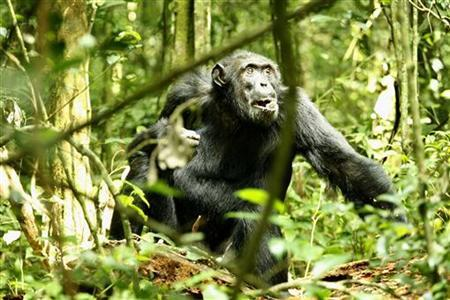 A dominant male chimpanzee walks through the rain forest in Kibale National Park, 354km southeast of Uganda's capital Kampala, December 2, 2006. REUTERS/James Akena