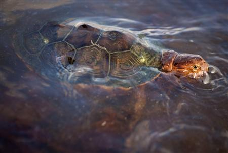 A sea turtle covered in oil from the Deepwater Horizon oil spill swims off Grand Terre Island, Louisiana in this June 8, 2010 file photo. U.S. wildlife experts are preparing to collect tens of thousands of endangered sea turtle eggs and move them hundreds of miles away in an unprecedented bid to protect them from the BP Plc oil spill in the Gulf of Mexico. REUTERS/Lee Celano/Files