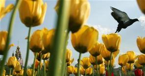 <p>Голубь пролетает над клумбой с тюльпанами рядом с Новодевичьим монастырем в Москве, 19 мая 2009 года. Жара не думает уходить из Москвы - днем в выходные температура вновь будет держаться у отметки в плюс 30 градусов. REUTERS/Denis Sinyakov</p>