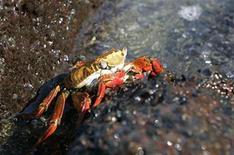 <p>Foto de archivo de un cangrejo colorado Zayapa sobre una roca de en las islas Galápagos, Ecuador, abr 29 2007. Ecuador dijo el miércoles que la Unesco sacó de la lista de patrimonios en peligro a las paradisíacas Islas Galápagos, gracias a la aplicación de una serie de medidas que disminuyeron las amenazas a su frágil ecosistema. REUTERS/Guillermo Granja (ECUADOR)</p>