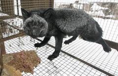 """<p>Foto de archivo de un zorro plateado en una granja privada en Rovnoye, Rusia, nov 30 2009. Las autoridades del oeste de China formaron y entrenaron un """"ejército"""" de zorros plateados, comprados a una granja de pieles, para combatir una plaga de ratas que amenaza con expandirse por las praderas, informaron el miércoles medios estatales. REUTERS/Ilya Naymushin</p>"""