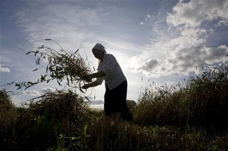 Valentina Zhikh, aged 68, harvests wheat at a field in the village of Danilovichi, some 160 km (99 miles) southwest of the capital Minsk, August 1, 2009. Picture taken August 1, 2009. REUTERS/Vladimir Nikolsky