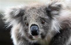 <p>Коала в парке под Мельбурном 15 октября 2009 года. Австралия пытается подогреть интерес молодых британцев к работе на Зеленом континенте, предлагая им заняться ловлей коал, кольцеванием акул, а то и просто дегустациями пива. REUTERS/Mick Tsikas</p>