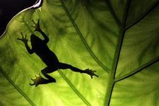 <p>Лягушка карабкается по листу, 21 июля 2010 года. Икра лягушек может помочь японским ученым создать высокоточный сенсор, способный улавливать запах дыма или газов. REUTERS/Pichi Chuang</p>