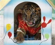 """<p>Одетый в китайский костюм тигренок в зоопарке в Тайланде 26 января 2010 года. Сотрудники таможенной службы аэропорта Бангкока """"Суварнабхуми"""" обнаружили живого двухмесячного тигренка в сумке, которая была битком забита игрушечными плюшевыми тигрятами. REUTERS/Sukree Sukplang</p>"""
