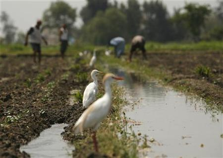 Cattle Egrets are seen as Egyptian farmers work in a field in a village near Alexandria, around 220 km (137 miles) northwest of Cairo, May 18, 2009. REUTERS/Asmaa Waguih