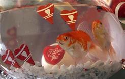 <p>Рыбка плавает в аквариуме с валентинками в магазине в Дамаске, 11 февраля 2010 года. Российскому цирку запретили показывать номер, в котором женщина проглатывала живую рыбу, а затем отрыгивала ее, так как австралийские власти посчитали его жестоким. REUTERS/Khaled al-Hariri</p>