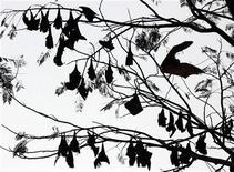 <p>Летучие мыши спят на ветвях дерева в пригороде Манилы, 6 марта 2006 года. Оказывается, не только люди, но и летучие мыши могут похвастать разнообразием акцентов, сообщают австралийские ученые. REUTERS/John Javellana</p>