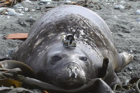An elephant seal is seen fitted with a sensor device used to monitor where it hunts and eats, and to measure temperature, salinity and pressure of the ocean during deep dives for food in this undated handout photograph taken in an undisclosed location and released October 15, 2010. Scientists are outfitting elephant seals and self-propelled water gliders with monitoring equipment to unlock the oceans' secrets and boost understanding of the impacts of climate change. REUTERS/Chris Oosthuizen/IMOS