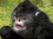 <p>A new type of snub-nosed monkey (Rhinopithecus strykeri) is seen in this undated handout of an artist rendering released on October 26, 2010. A new type of snub-nosed monkey has been found in a remote forested region of northern Myanmar which is under threat from logging and a Chinese dam project, scientists said on Wednesday. They said hunters in Myanmar's Kachin state said the long-tailed black monkey, with white-tufted ears and a white beard, could often be tracked in the rain because its upturned nostrils made it prone to sneezing when water dripped in. REUTERS/Dr Thomas Geissmann/Fauna & Flora International/Handout</p>