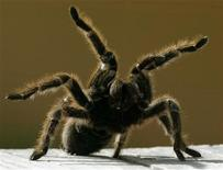 <p>A Chilean rose tarantula is shown at the environment reserve in Mexico state, one of 500 tarantulas abandoned at the airport in Mexico City this week when their owner failed to complete import paperwork. REUTERS/Henry Romero HR/HB</p>