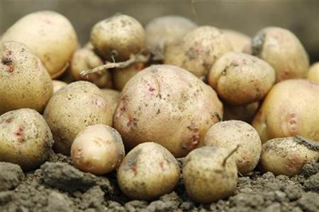 Recently harvested potatoes grown for two months without water, are seen at the International Potato Center (CIP) experimental station in San Ramon in Peru's central jungle August 27, 2010. REUTERS/Enrique Castro-Mendivil