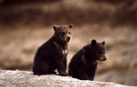 Two grizzly bear cubs are seen in the Yellowstone National Park in this 1966 handout photograph. REUTERS/National Park Service