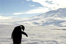 <p>A foraging Emperor penguin preens on snow-covered sea ice around the base of the active volcano Mount Erebus, near McMurdo Station, the largest U.S. Science base in Antarctica, December 9, 2006. REUTERS/Deborah Zabarenko</p>