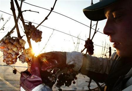 A worker harvests frozen wine grapes as the sun rises over Kiedrich near Wiesbaden December 11, 2002. REUTERS/Ralph Orlowski