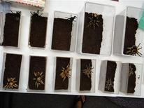 <p>Tarantula's confiscated by the U.S. Fish and Wildlife Service are shown in this December 3, 2010 handout photo released to Reuters January 18, 2011. REUTERS/U.S. Fish and Wildlife Service/Handout</p>