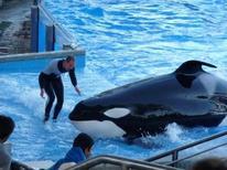 """<p>Um treinador não identificado trabalha com a baleia assassina durante o show """"Believe"""", no parque Sea World, em Orlando, na Flórida, no ano passado. Um ano depois de uma treinadora ter sido agarrada e afogada por uma baleia diante de turistas, os responsáveis pelo parque vão estrear no fim de abril um novo show no qual os treinadores ficarão fora do tanque de água. 14/02/2010 REUTERS/Richard Baum</p>"""
