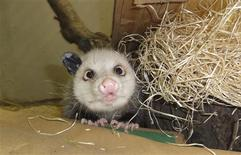 <p>An undated handout picture made available to Reuters on February 11, 2011, shows the famous cross-eyed opossum Heidi in Leipzig Zoo. REUTERS/Zoo Leipzig/Handout</p>