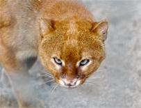 <p>Frank, the eyra or jaguarundi, which is a type of wild cat, is pictured in a zoo in the town of Delitzsch, north of Leipzig, February 14, 2011. REUTERS/Leon Malherbe</p>