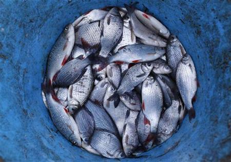 Fish are placed in a bucket at Central Europe's biggest fish pond complex in the Great Hungarian Plain at Hortobagy, 200km (124 miles) east from Budapest, November 30, 2010. REUTERS/Laszlo Balogh
