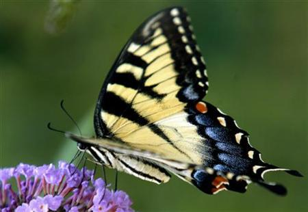 A swallowtail butterfly collects pollen from a butterfly bush in Wilmington, Delaware in this July 19, 2006 file photo.