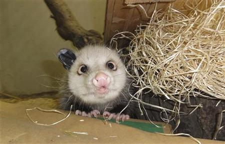 An undated handout picture made available to Reuters on February 11, 2011, shows the famous cross-eyed opossum Heidi in Leipzig Zoo. REUTERS/Zoo Leipzig