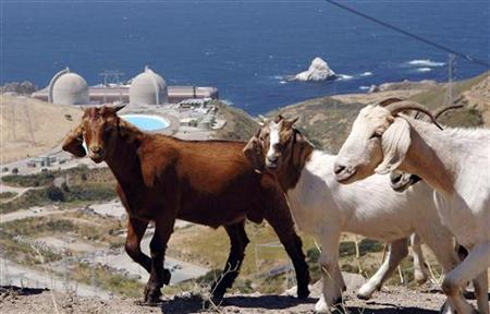 A flock of goats walk on a hillside above Diablo Canyon nuclear power plant at Avila Beach, California in this June 22, 2005 file photograph. REUTERS/Phil Klein/Files