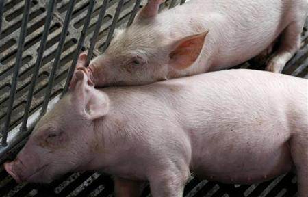 Cloned piglets from a single donor pig rest at a pig farm in Shenzhen August 23, 2010.	REUTERS/Bobby Yip