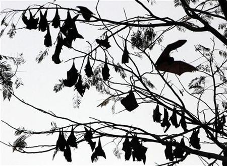 Fruit bats rest on tree branches within the forested area of Subic Bay in the province of Olongapo, north of Manila March 6, 2009. REUTERS/John Javellana